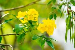 Cloche jaune de stans de Tecoma, aîné jaune, Trumpetbush, Trumpetflo Photos libres de droits