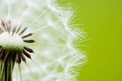 Clock Dandelion Close-up. Close-up of a clock dandelion against a clean green background Royalty Free Stock Photos