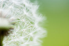 Clock Dandelion Seeds Stock Image