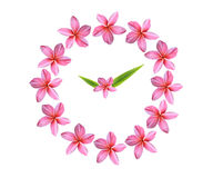 clock pink frangipani flowers Stock Photos