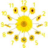 Clock with sunflowers. Sunflowers in the form of a clock dial isolated on white stock images