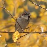 Clodeup del gorrión del otoño Foto de archivo