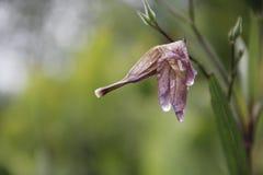 Clodsed upp vissnade blommor med droppe arkivfoton