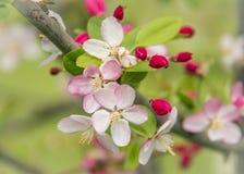 Cloe-up of aple blossom Stock Photography