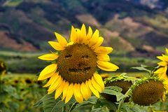 Cloe-up of a happy face etched into the face of a sunflower. Whimsical happy face etched on to a close-up of a sunflower stock image