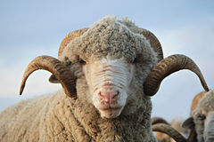 Cloe-up sheep Royalty Free Stock Photography