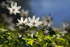 Windflowers Stock Image