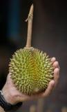 Cloes вверх по свежему плодоовощ дуриана Puangmanee в руке Стоковая Фотография RF