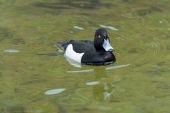 """Cloes-Up eines schwimmenden Ente †""""größere Bergente lizenzfreies stockbild"""