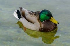 """Cloes-Up homem Drake Mallard de um †nadador do pato """" imagem de stock royalty free"""