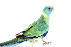 Clonclurry Parakeet Stock Images