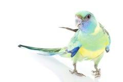 clonclurry parakeet стоковое изображение