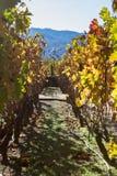Clone da vinha em Califórnia Fotografia de Stock Royalty Free