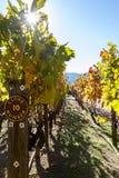 Clone da vinha em Califórnia Imagem de Stock