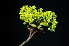 Clone de floraison Image stock