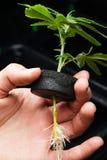 Clone della marijuana Fotografie Stock Libere da Diritti