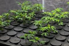 Clone frescos novos do cannabis do corte foto de stock royalty free
