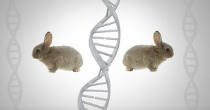 Clone twin rabbits with genetic DNA. Digital composite of Clone twin rabbits with genetic DNA royalty free stock photography
