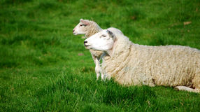 Cloned sheep. British breed of sheep and lamb funny posing on a green grass background Stock Photography
