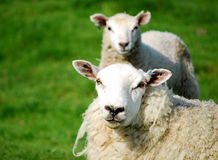 Cloned sheep Royalty Free Stock Images