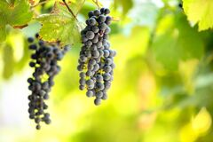 Free Clopse Up Of Ripening Grape Fruit On Vine Branches In Summer Garden Royalty Free Stock Photo - 182183935