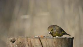 Clori verdi europei del carduelis del fringillide che si siedono sull'alimentatore dell'uccello di inverno video d archivio