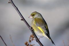 cloris carduelis greenfinch Στοκ εικόνες με δικαίωμα ελεύθερης χρήσης