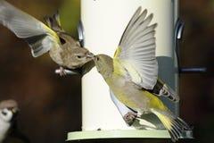 cloris carduelis greenfinch Στοκ Εικόνες