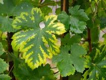 Clorosi Interveinal causata dalla carenza dell'azoto o del ferro su una vite Agricoltura, problema di viticoltura fotografia stock libera da diritti