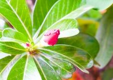 Clos вверх по цветкам азалии цветет красный цвет Стоковое Изображение