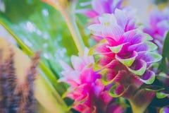 Clos-up变粉红色桃红色泰国郁金香或姜黄sessilis花flowe 免版税库存照片