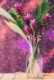 Clos-up变粉红色桃红色泰国郁金香或姜黄sessilis花flowe 库存照片