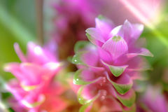 Clos-up变粉红色桃红色泰国郁金香或姜黄sessilis花flowe 免版税库存图片