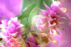 Clos-up变粉红色桃红色泰国郁金香或姜黄sessilis花flowe 库存图片