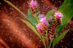 Clos-up变粉红色桃红色泰国郁金香或姜黄sessilis花flowe 图库摄影