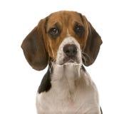 Clos-up of a Beagle Stock Photography