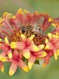 Clos-up de una abeja hoeny encima de un wildflower rojo-amarillo Imagen de archivo libre de regalías