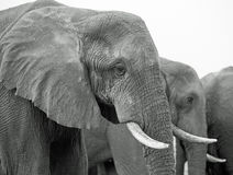 Close up of elephant head and tusks in black & white Royalty Free Stock Photos