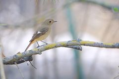 Daurian Redstart. The clos-up of a female Daurian Redstart stands on branch. Scientific name: Phoenicurus auroreus Stock Images