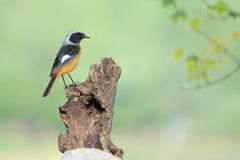 Daurian Redstart. The clos-up of a male Daurian Redstart stands on top of wood pile. Scientific name: Phoenicurus auroreus Royalty Free Stock Photography