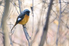 Daurian Redstart. The clos-up of a male Daurian Redstart stands in winter branches. Scientific name: Phoenicurus auroreus Stock Photo