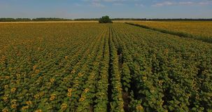 Close aerial flight over field of sunflowers waved by wind against forest under boundless blue sky stock video