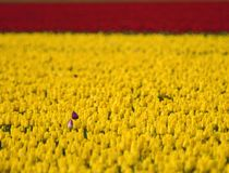 So Close so Alone Tulips Royalty Free Stock Photography