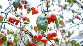 Close frozen mountain ash red berries with snow caps. Close amazing view frozen red rowanberries on mountain ash tree branches covered with heavy wet snow caps stock footage