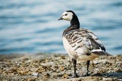 Close Barnacle Goose, Branta Leucopsis Wild Sea Bird With White Royalty Free Stock Image