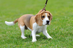 Free Close Beagle Dog Stock Photography - 72961822