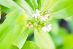 Long leafed beach plant blossoms tiny white flowers - Close up. Beautiful big green leafy plants a long the coast of Florida begin to bloom tiny white flowers stock images