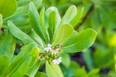 Long leafed beach plant blossoms tiny white flowers - Wide angle royalty free stock image