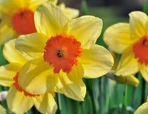 Beautiful daffodil in garden Royalty Free Stock Image