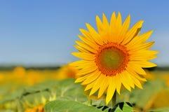 Beautiful sunflower on blue sky. Close on beautiful and large sunflower on blue sky Stock Images